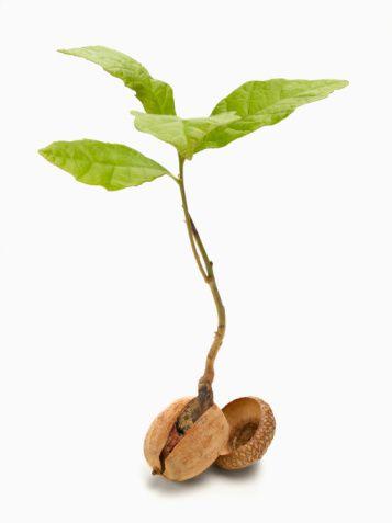 acorn_sprout-56a319505f9b58b7d0d053e8