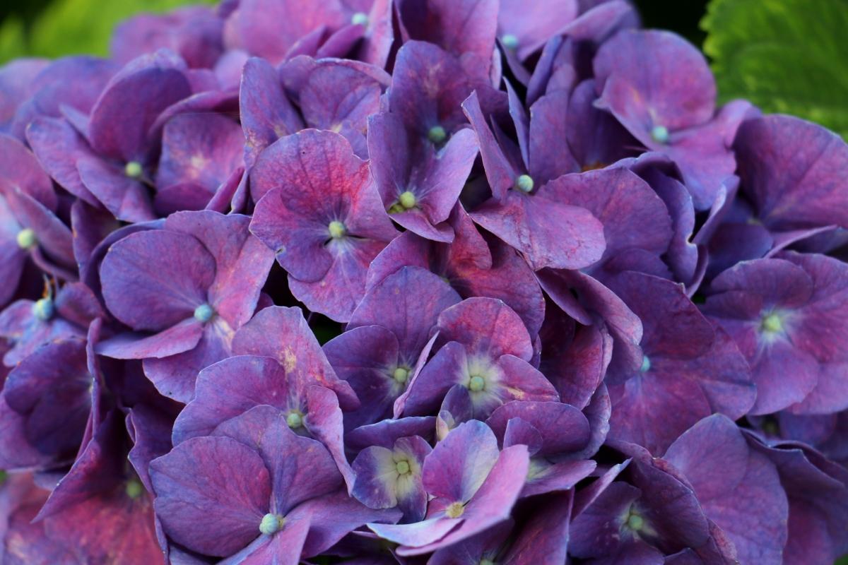 kimtateopurpleflower