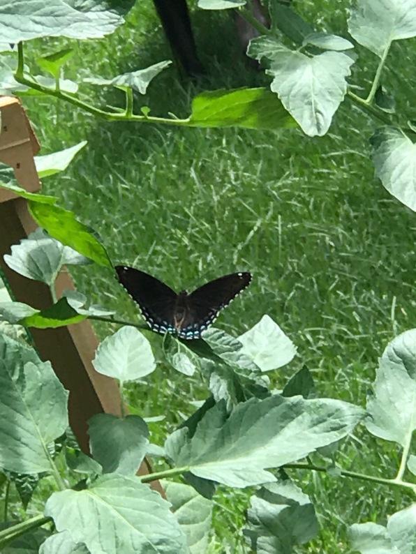 julybutterfly
